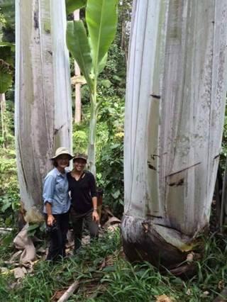 pisang-raksasa-papua-25meter